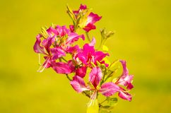 Flores tropicais cor-de-rosa no fundo amarelo fotografia de stock