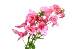 Flores tropicais cor-de-rosa pequenas Foto de Stock Royalty Free