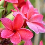 Flores tropicais do Frangipani Foto de Stock