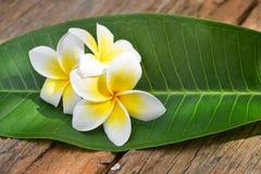 Flores tropicais do Frangipani, flores do Plumeria Imagens de Stock