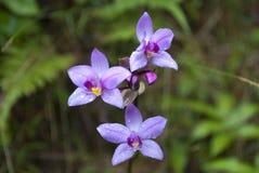 Flores tropicais: Orquídeas de bambu selvagens fotografia de stock royalty free