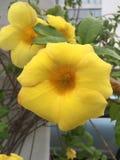 Flores tropicales amarillas fotos de archivo