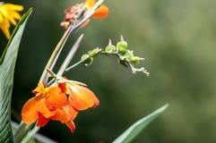 Flores tropicales anaranjadas foto de archivo