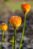 Flores tropicales anaranjadas Foto de archivo libre de regalías