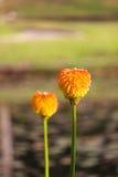 Flores tropicales anaranjadas Imágenes de archivo libres de regalías