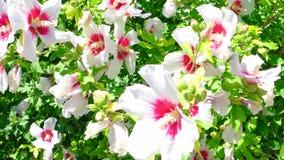 Flores tropicales blancas grandes diurnas almacen de video