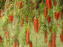 Flores tropicales de la India Imagen de archivo libre de regalías