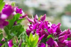 Flores tropicales de la lila de Bush Fotos de archivo