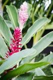 Flores tropicales del jengibre Imágenes de archivo libres de regalías