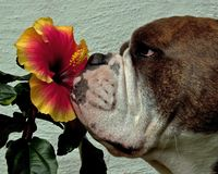 Flores tropicales del olor del dogo de hibiscos fotografía de archivo libre de regalías