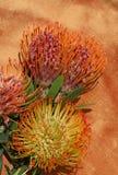 Flores tropicales del protea Fotos de archivo libres de regalías