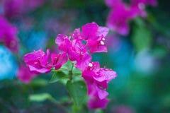 Flores tropicales hermosas, el ratut del strizhennom de Bush muchos colores jugosos brillantes en climas calientes tropical Fotos de archivo libres de regalías
