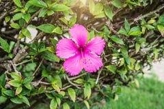 Flores tropicales hermosas, el ratut del strizhennom de Bush muchos colores jugosos brillantes en climas calientes tropical Foto de archivo