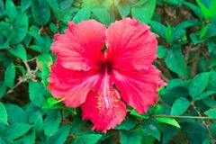 Flores tropicales hermosas, el ratut del strizhennom de Bush muchos colores jugosos brillantes en climas calientes tropical Imágenes de archivo libres de regalías