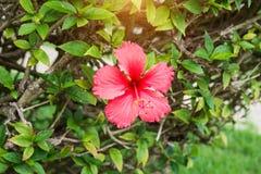 Flores tropicales hermosas, el ratut del strizhennom de Bush muchos colores jugosos brillantes en climas calientes tropical Imagen de archivo