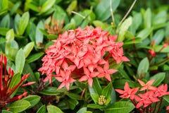 Flores tropicales hermosas, el ratut del strizhennom de Bush muchos colores jugosos brillantes en climas calientes tropical Imagenes de archivo