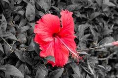 Flores tropicales hermosas, el ratut del strizhennom de Bush muchos colores jugosos brillantes en climas calientes tropical Foto de archivo libre de regalías