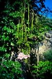 Flores tropicales rosas claras en el árbol, isquiones, Italia fotos de archivo