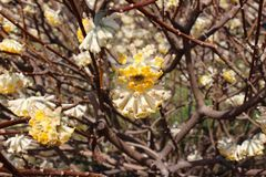 Flores tubulares amarelas e brancas altamente incomuns no arbusto foto de stock royalty free