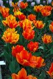 Flores Tulipanes Imagenes de archivo