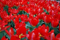 Flores Tulipanes Fotos de archivo libres de regalías