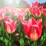 Flores, tulipanes rosados en el jardín Foto de archivo libre de regalías