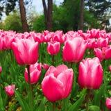 Flores, tulipanes rosados en el jardín Imagen de archivo