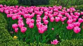 Flores, tulipanes rosados en el jardín Fotos de archivo libres de regalías