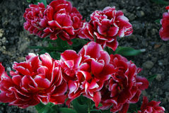 Flores Tulipas Imagem de Stock Royalty Free