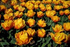 Flores Tulipas Fotografia de Stock