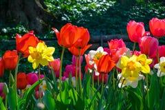 Flores, tulipas e narcisos amarelos coloridos fotografia de stock