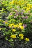 Flores Varicoloured del rododendro Imágenes de archivo libres de regalías