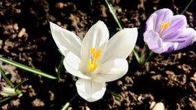 Flores Variegated & brancas do roxo do açafrão Imagem de Stock