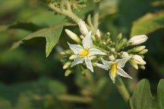 Flores vegetais Fotos de Stock Royalty Free