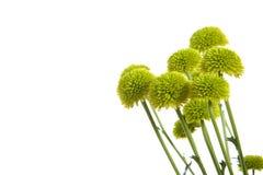 Flores verdes aisladas en blanco Fotografía de archivo