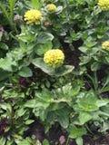 Flores verdes das plantas Imagem de Stock