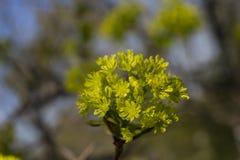 Flores verdes del arce en las ramas del árbol fotos de archivo