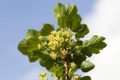 flores verdes do corinto imagem de stock