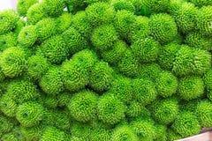 Flores verdes do crisântemo Fotos de Stock Royalty Free