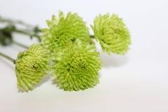 Flores verdes do crisântemo no fundo branco imagem de stock