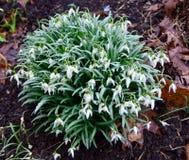 Flores verdes e brancas e folhas verdes das flores do snowdrop cobertas no orvalho Fotos de Stock
