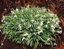 Flores verdes e brancas e folhas verdes de flores do snowdrop na chuva Imagens de Stock Royalty Free