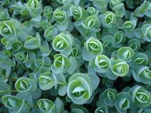 Flores verdes en un jardín de la primavera Fotos de archivo