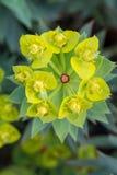Flores verdes florecientes exóticas del desierto foto de archivo