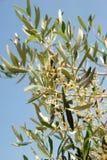 Flores verdes olivas Fotos de archivo