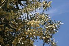 Flores verdes olivas Europaea del Olea Fotos de archivo libres de regalías