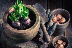 Flores verdes Repotting da mola no coto de madeira Imagem de Stock Royalty Free