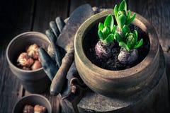 Flores verdes Repotting da mola no coto de madeira Fotografia de Stock