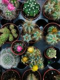 Flores verdes y rosadas en un cactus en potes en el mercado Foto de archivo libre de regalías
