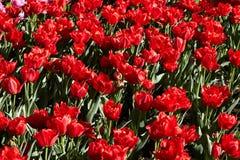 Flores vermelhas Fotos de Stock